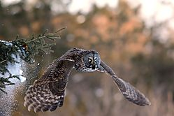 great_grey_owl_flying_low_out_of_spruce.jpg