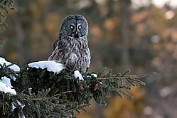 great_grey_owl_perched_in_spruce.jpg