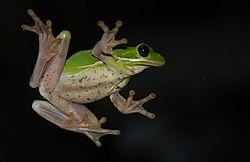 green-frog_2113.JPG