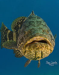 grouper_looking_at_you_11_x_14_2010_030.jpg