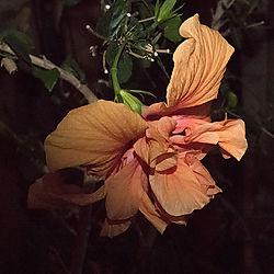 hibiscus-stackweb.jpg