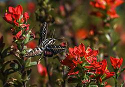 hummingbird_moth2.jpg