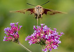 hummingbirdmoth08122018_6_of_6_.jpg