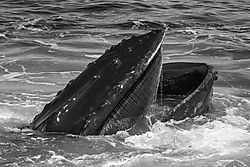 humpback_with_mouth_wide_open.jpg