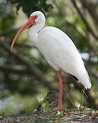 ibis600b.jpg