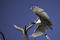 ibis_landing.jpg