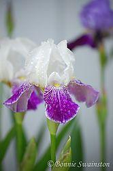 iris_after_rain1.jpg