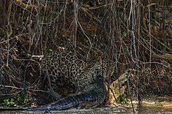 jaguar_-_caiman2.jpg