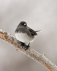 junco_branch_web.jpg