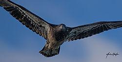 juvenile_bald_eagle_close_up_01182021_2_1.jpg