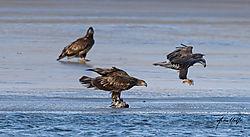juvenile_bald_eagle_duck_01182021_.jpg
