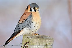 kestrel_on_post_with_claws_out.jpg