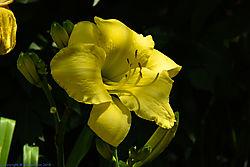 lemon_lilly.jpg