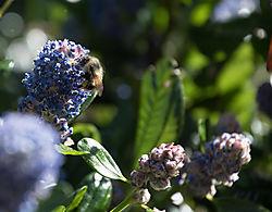 lilac-bumblebee.jpg