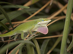 lizard-nikonians.jpg