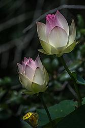lotus_blooms.jpg