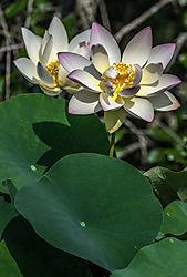 lotus_flowers.jpg