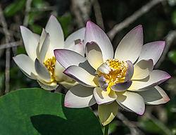 lotus_flowers2.jpg