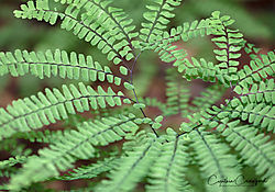 maidenhair_fern_heart_DSC3900.jpg