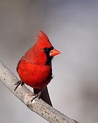 male_cardinal.jpg