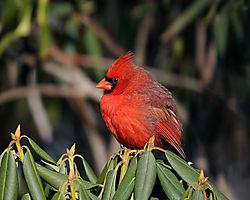 male_cardinal_2.jpg