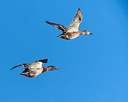 mallards_in_flight10052019142.jpg