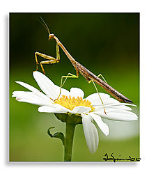 mantis-2.jpg