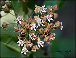 milkweed2_sm_DSC4378.jpg