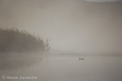 misted_reeds_with_duck1.jpg