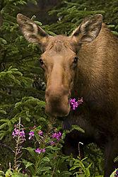 moose1815pwrpt.jpg