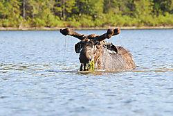 moose_3-1.jpg