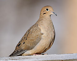 mourning_dove3.jpg