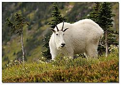 mt-goat-glacier.jpg