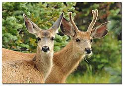 mule_deer_upper_beaver.jpg