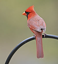 northern_cardinal_m_DSC3984.jpg