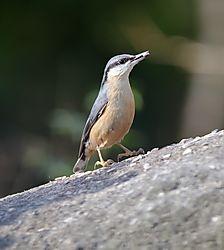 nuthatch_ideford_bird_feeding_point.jpg