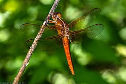 orange_dragonfly_3a-2.jpg