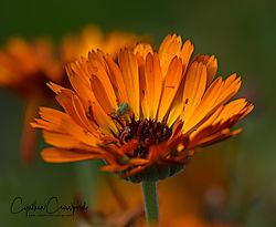 orange_flower_green_bug_signed_DSC1820.jpg