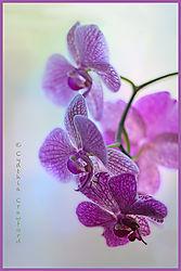 orchid2_DSC2802.jpg