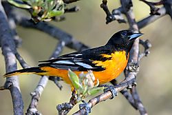 oriole_behind_blossom.jpg