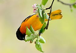 oriole_hanging_in_blossoms.jpg