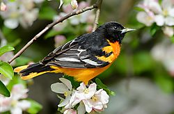 oriole_in_blossoms_-_perfect.jpg