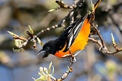 oriole_on_diagonal.jpg