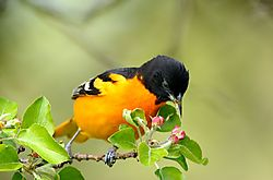 oriole_out_on_a_limb_for_blossoms.jpg