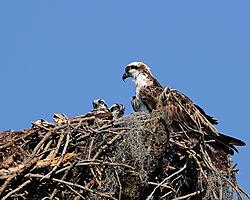 osprey_nest2_web.jpg