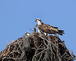 osprey_nest_web.jpg