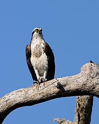 osprey_perched2_web.jpg