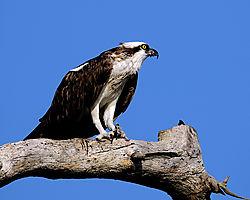 osprey_perched3_web.jpg