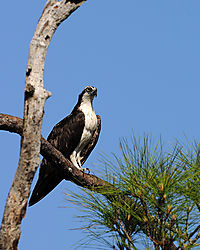 osprey_perched_web.jpg