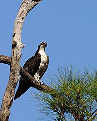 osprey_perched_web.jpg